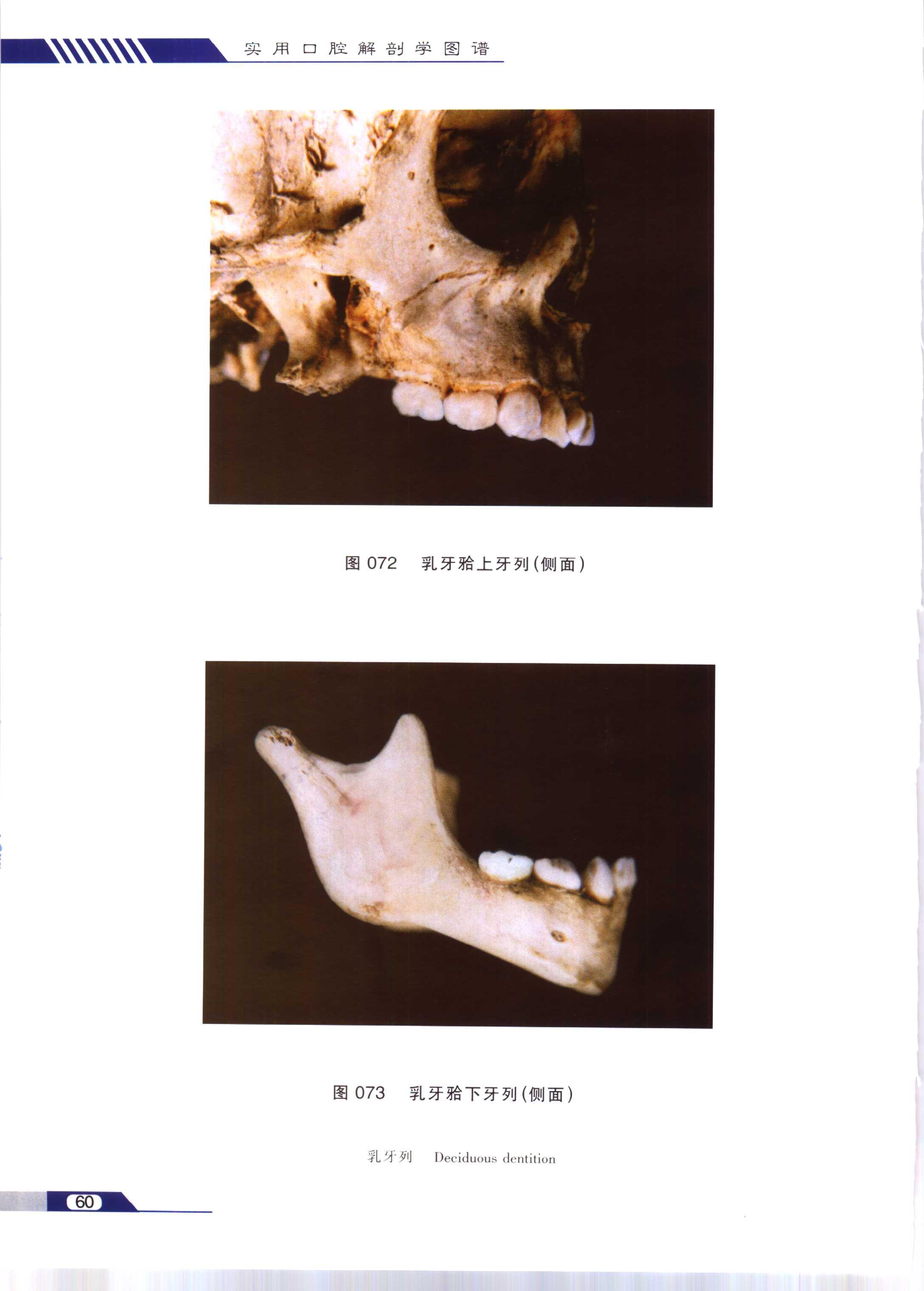 系列图谱 口腔解剖学 三