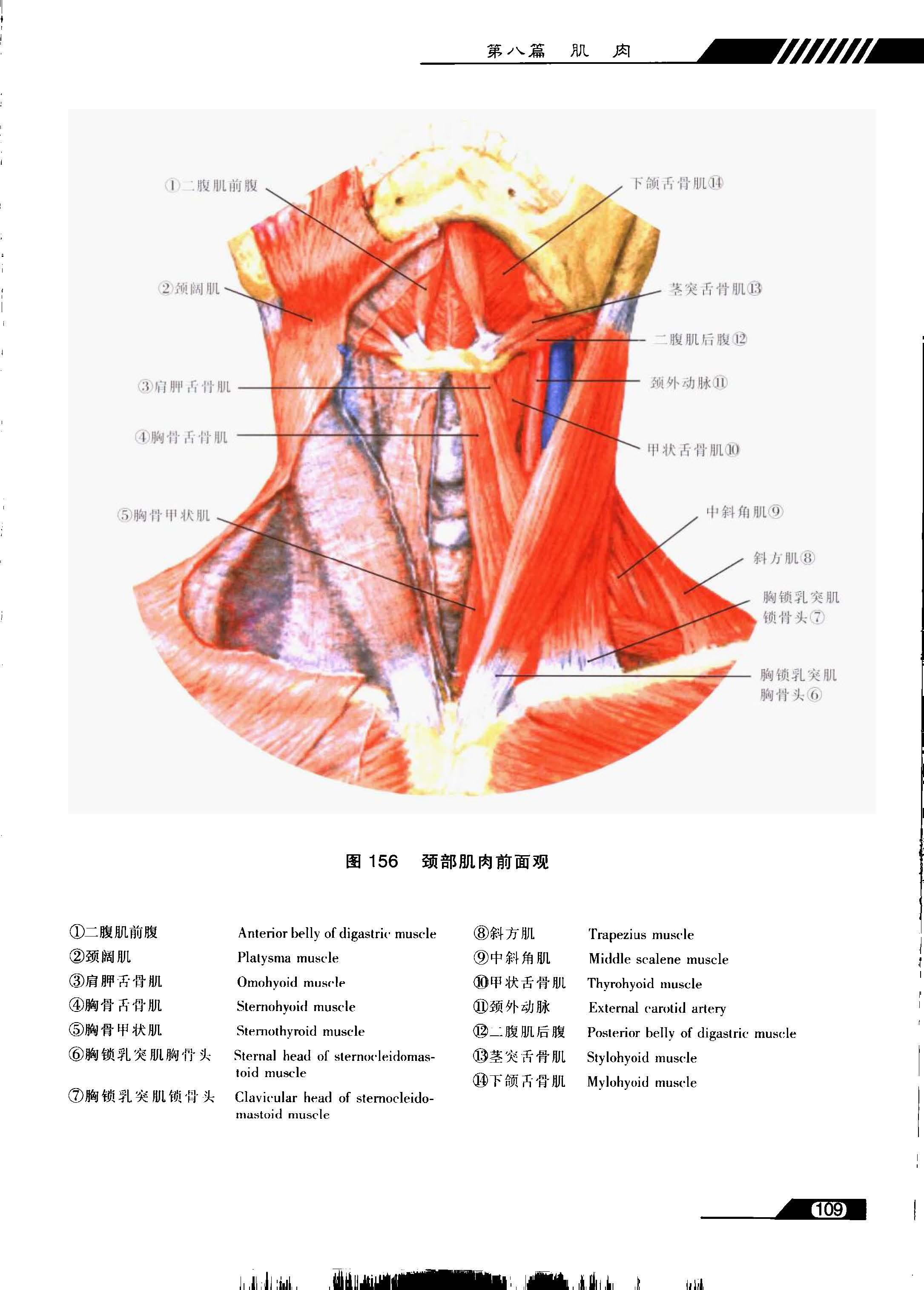 系列图谱 口腔解剖学 六
