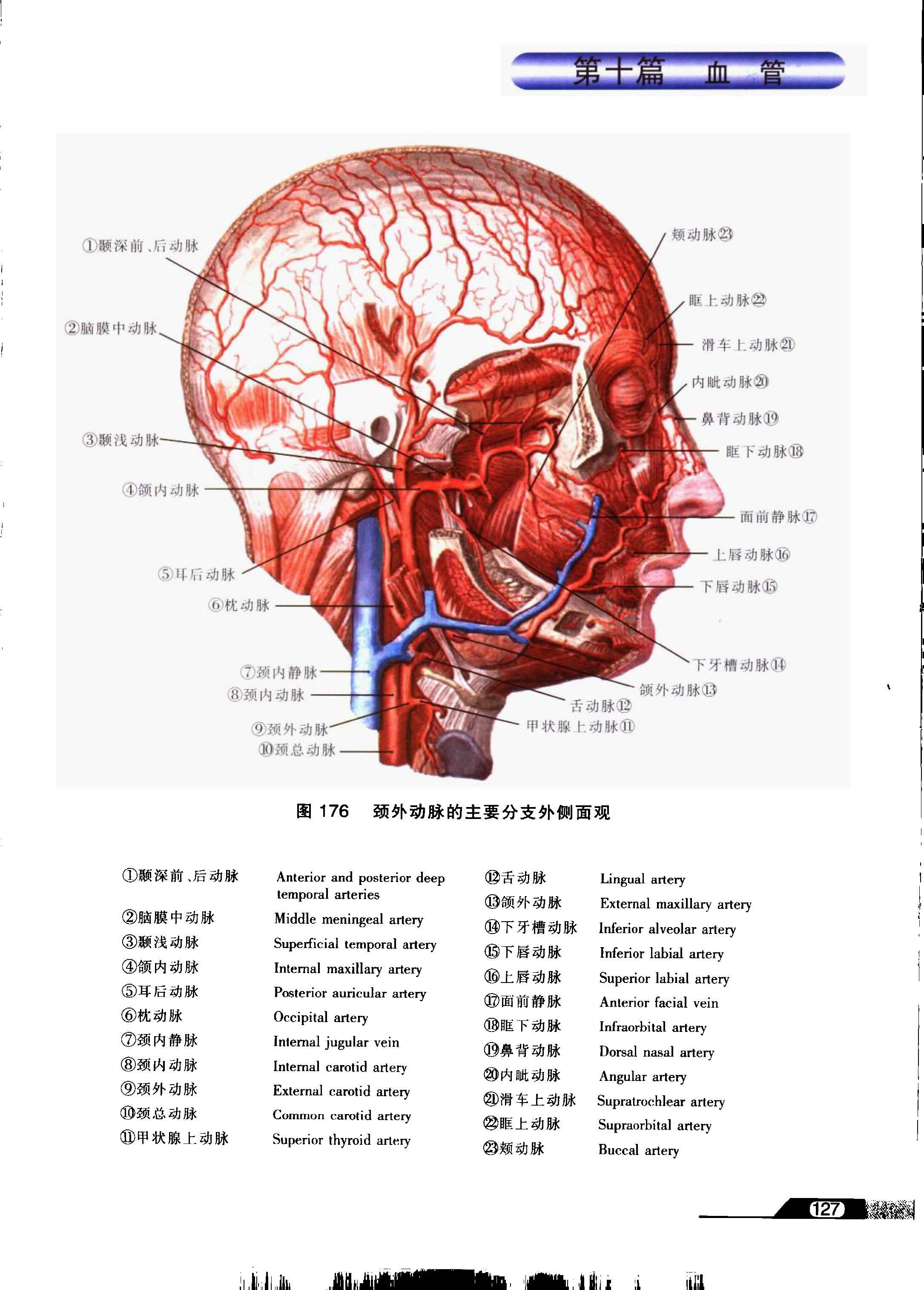 系列图谱 口腔解剖学 七