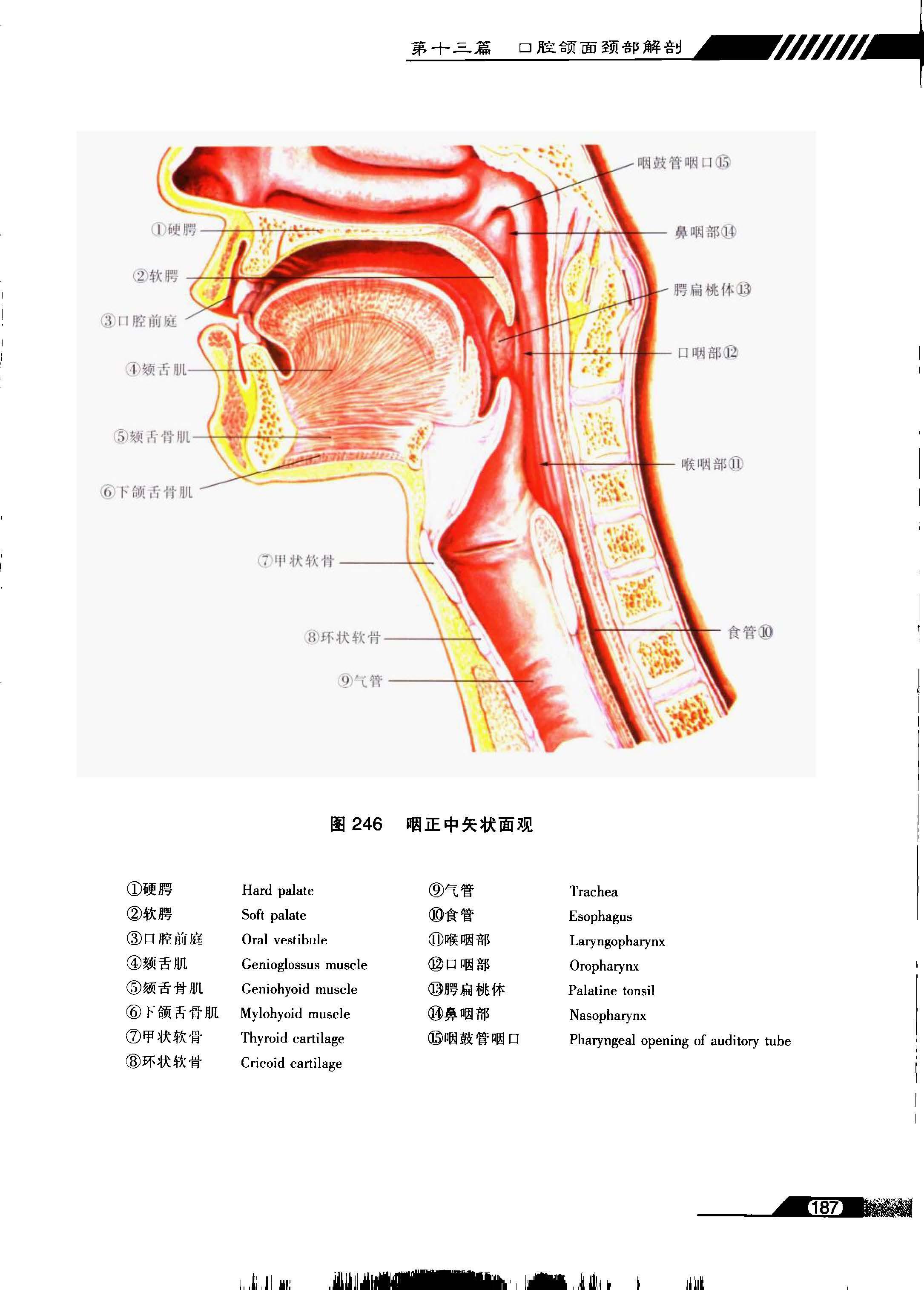 系列图谱 口腔解剖学 九