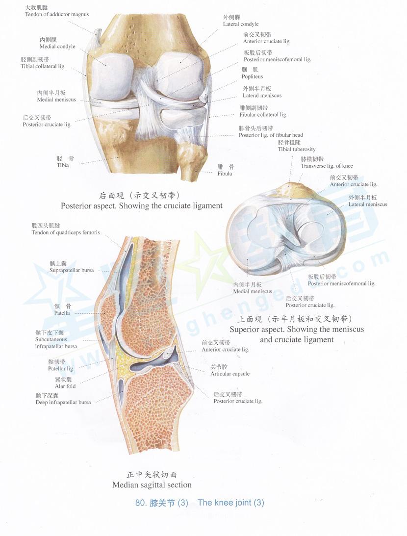 解剖图 膝关节 3