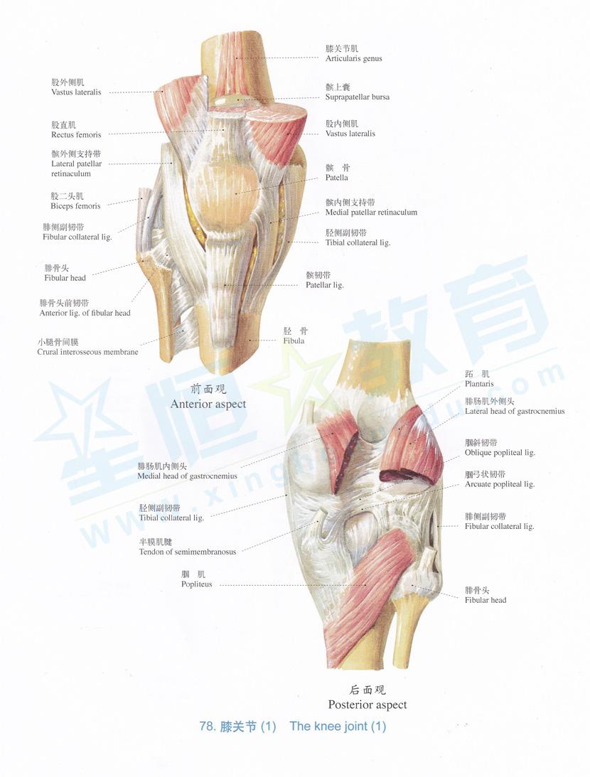 解剖图 膝关节 1
