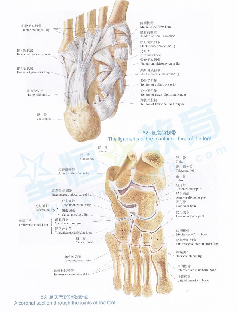 解剖图 足底的韧带 足关节的冠状断面