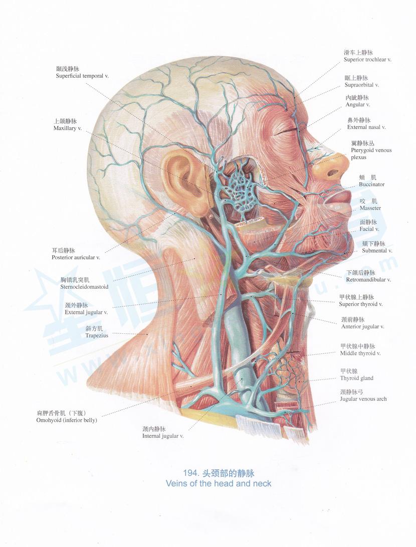 解剖图 头颈部的静脉
