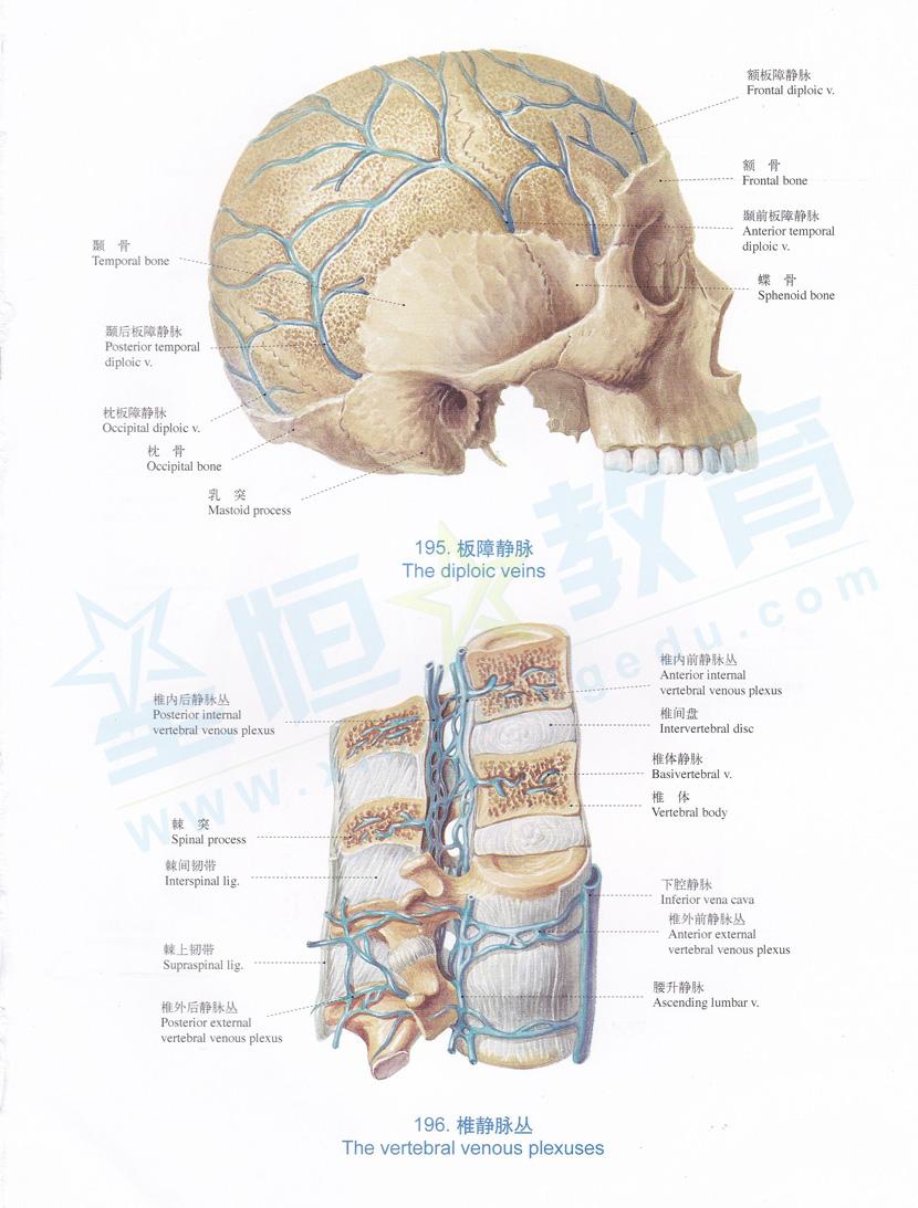解剖图 板障静脉 椎静脉丛
