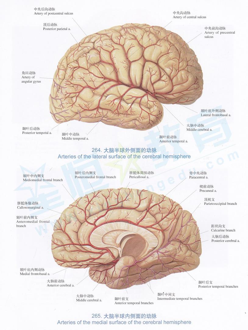 解剖图 大脑半球外侧面的动脉 大脑半球内侧面的动脉