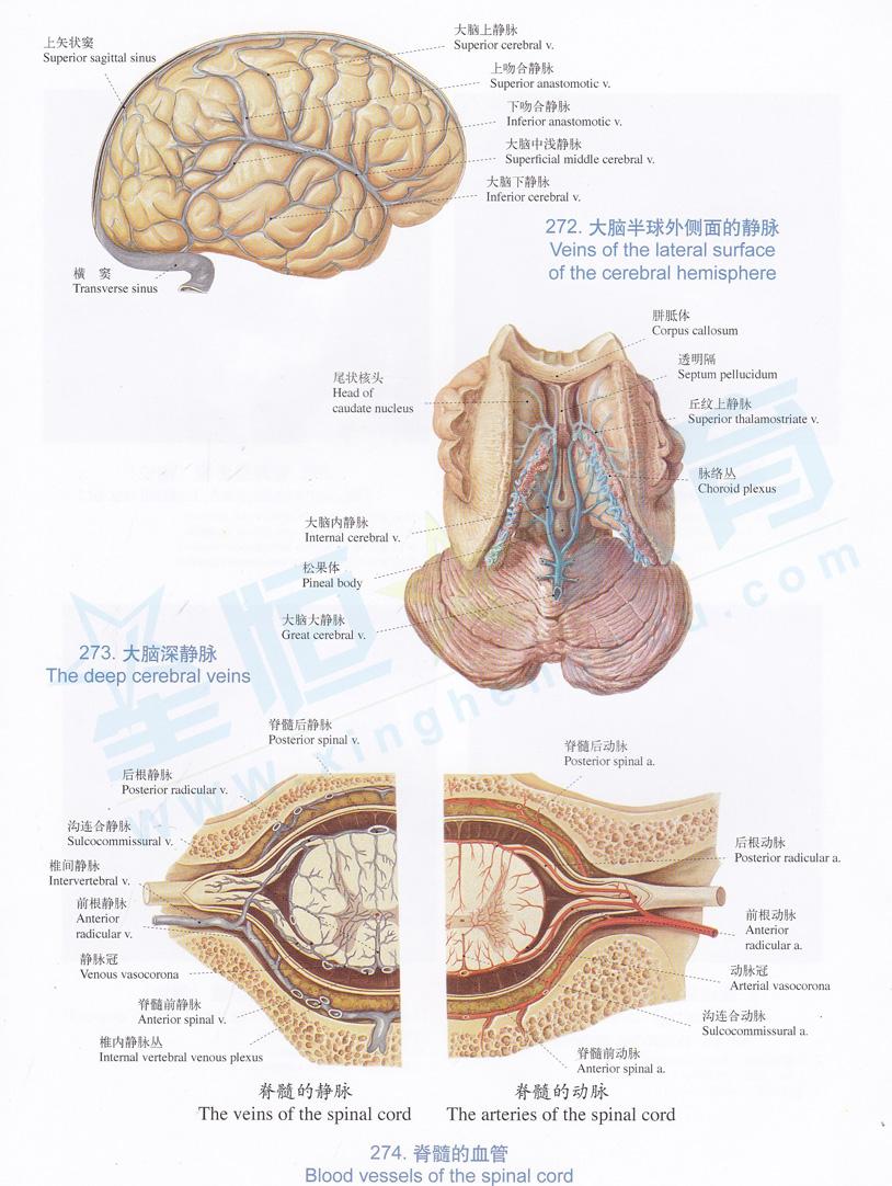 解剖图 大脑半球外侧面的静脉 大脑深静脉 脊髓的血管