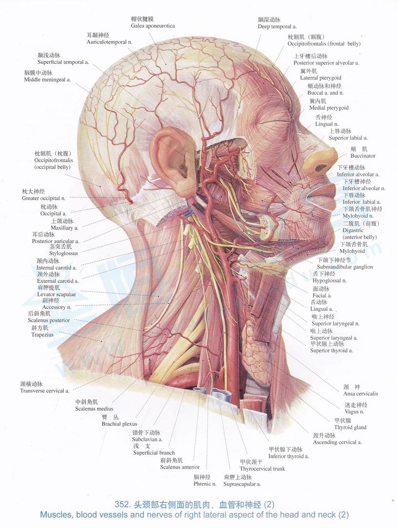 解剖图 头颈部右侧面的肌肉 血管和神经 2